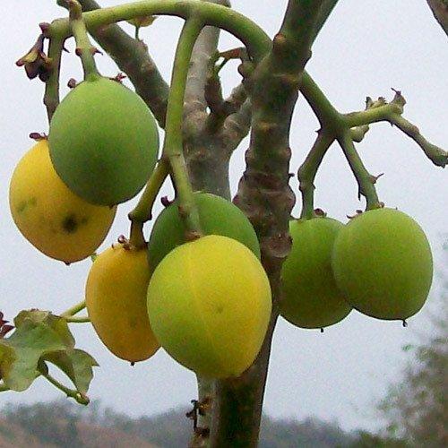 Plant World Seeds - Jatropha Curcas Seeds