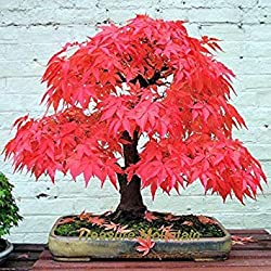 Vistaric 10 samen/pack laub pflanzensamen, excelsa sementes bambuspalme, zongzhu samen für bonsai samen
