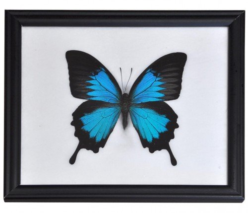 Schmetterling im Bilderrahmen,Blue Emperor (Papilio Ulysses)