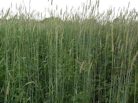 1LB Winter Rye Seed Cover Crop,Food Plot Deer,Wildlife by Discount