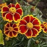 Marigold Red Marietta semi - Tagetes patula nana