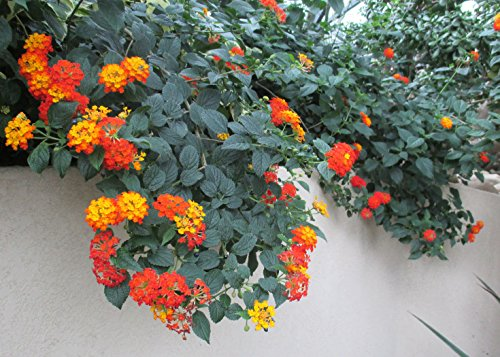 Lantana is a genus of about 150 species of perennial flowering plants . (English Edition)