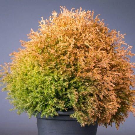 Lebensbaum Tolles Farbspiel im Austrieb