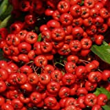 Pyracantha Saphyr Red Seeds