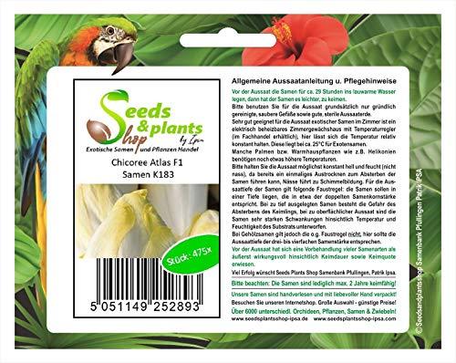 Stk - 475x Chicoree Atlas F1 Chicorée Samen Gemüse Garten Saatgut Salat K183 - Seeds Plants Shop Samenbank Pfullingen Patrik Ipsa
