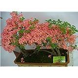 semillas de flores, semillas de flor de Bonsai macclurei interiores y exteriores 50PC, plantas en macetas completas