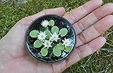 M-Tech Gärten Miniatur Lotus Bonsai Geeignet Wasserpflanzen Samen Blossom Mini Seerose (10 Samen)