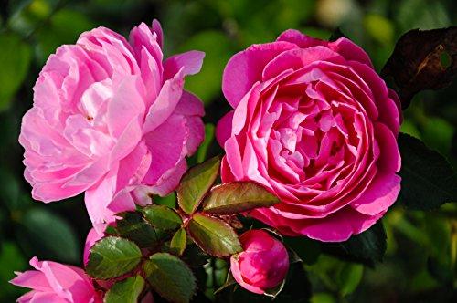 Englische / Historische Rosen. Hochstamm-rosen im Container