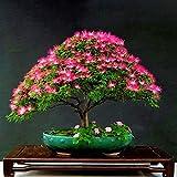 PinkdoseRot: Davitu 20 Stücke Akazie Baum Samen Bunte Albizia Julibrissin Baum Samen Indoor Bonsai Baum Pflanzen - (Farbe: Rot)