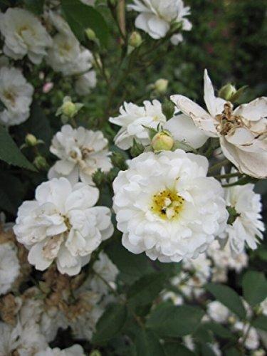 Kletterrose Guirlande d'Amour® - Rosa Guirlande d'Amour® - reinweiß -