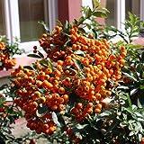 Feuerdorn 'Orange Glow' - Pyracantha 'Orange Glow' - Immergrün