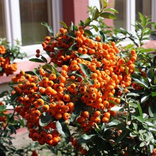 Feuerdorn 'Orange Glow' - Pyracantha 'Orange Glow' - Immergrün