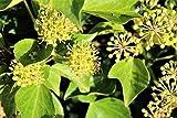 Strauch-Efeu 'Arborescens' - starke Pflanze im grossen 5lt Topf