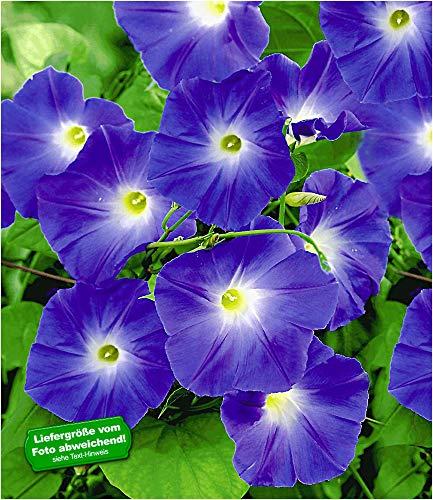 BALDUR-Garten Trichterwinde \'Blue Hardy\', 1 Pflanze Ipomoea indica Kletterpflanze winterhart Prunkwinde