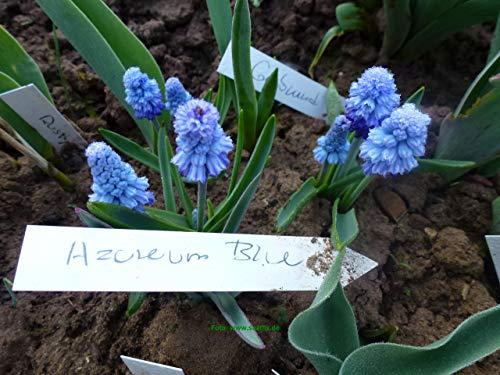 100 Blumenzwiebeln Traubenhyazinthe Muscari azureum Blue
