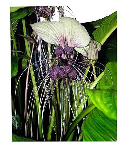 """100 Samen Weiße Fledermausblume""""White-Bat-Flower"""" - Tacca integrifolia >Teufelsblume<"""