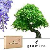 Bonsai | growbro | Wisteria Blauregen Bonsai | Anzuchtset | ideales Geschenk Bonsaibaum für Frauen und Männer, Geschenkset inkl. Bonsai Samen, Schere, Sprühflasche, Erde, uvm.