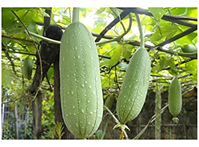 Premier Seeds Direct GN-7ZEL-K0NK Gourd Luffa Sponge Great Fun and Unusual Seeds (Pack of 12) : everything five pounds (or less!)