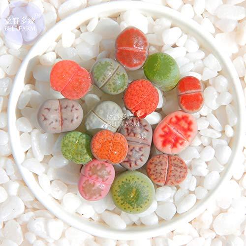 Go Garden Bellfarm Bonsai mixte 10 Types de Lithops Succulent pierres vivantes bi-couleur rouge gris vert -10pcs haut Germination/Pack