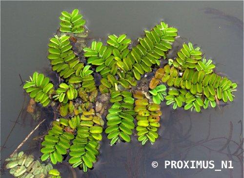 salvinia-natans-floating-watermoss