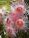Schlussverkauf! 60 Stück Regenbogen Eucalyptus Deglupta, Stauden Angiospermen Pflanzen Blumensamen, Eukalyptusbaum Anlage für Gartenpflanze 12