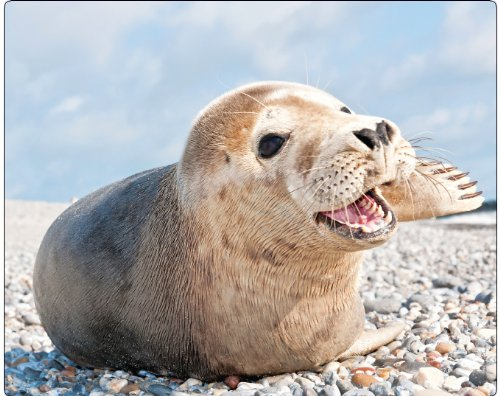 seehund-robbe-am-grava-playa-edition-animal-de-motiv-96-gratis-de-postal
