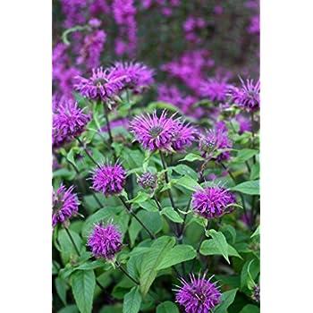 Bergamot Monarda Schneewitchen Snow White bee balm herb plant 9cm pot