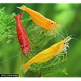 Feuer Garnelen Mix - Neocaridina davidi - 6st. / 2 x Yellow Fire Garnele + 2 x Red Fire Garnele + 2 x Orange Fire Garnele
