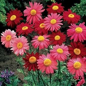20 Giardino casa Piantare piretro Seeds