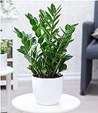 BALDUR-Garten Zamioculcas, 1 Pflanze Glücksfeder, Zamie, Zamia Farn, Zamia Palme, pflegeleichte Zimmerpflanze