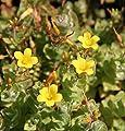 Wasserpflanzen Wolff - Hypericum elodes - Sumpf-Johanniskraut - Sumpf-Hartheu, gelb von Wasserpflanzen Wolff - Du und dein Garten