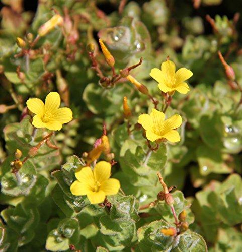Wasserpflanzen Wolff - Hypericum elodes - Sumpf-Johanniskraut - Sumpf-Hartheu, gelb