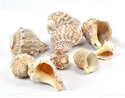 en Muscheln, Maritime Deko, Naturprodukt (Groß Meer Muscheln)