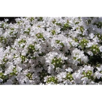 Thyme snowdrift herb aromatic leaves white flowers summer loved by thyme snowdrift herb aromatic leaves white flowers summer loved by bees ground cover 9cm pot free mightylinksfo