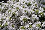 Thyme Snowdrift herb aromatic leaves...
