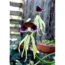 100 Pcs único Cymbidium Semillas Faberi plantas de flores jardín de flores semillas de orquídeas, orquídea Phalaenopsis Semillas de Plantas de interior Bonsai 19