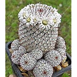 Vistaric 100 pcs/sac Réel mini graines de cactus, plantes succulentes rares de plantes herbacées vivaces, graines de fleurs de pot de bonsaï, plante d'intérieur pour la maison jardin 4
