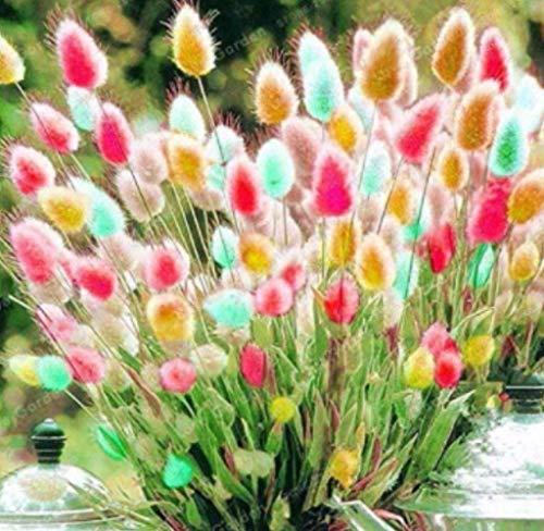 Xianjia Garten - Raritäten Pflanzensamen 50 Stück Bunny Tails Lampenputzergras Federborstengras farbig Kräuterpflanzen Mischung Grassamen winterhart mehrjährig für Balkon, Garten (1)