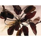 Echinodorus Aflame - Plantas de acuario