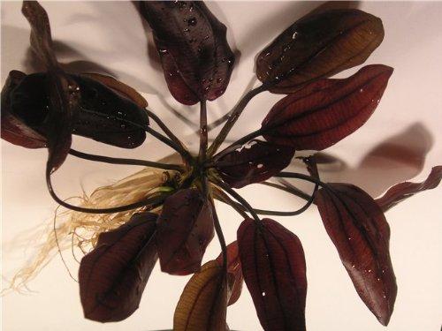 Aquatic-Plants-Seven-Plants-of-Rare-Echinodorus-Plantes-daquarium
