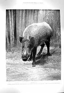Les SAPEURS-POMPIERS ANIMAUX de MALAISIE le KANSAS de 1900 PORCS SAUVAGES de JAVAN [Cuisine et Maison]