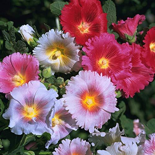 Semi di fiori di malvarosa, semi di fiori colorati misti per coltivare piante ornamentali da giardino in rapida crescita 500pcs