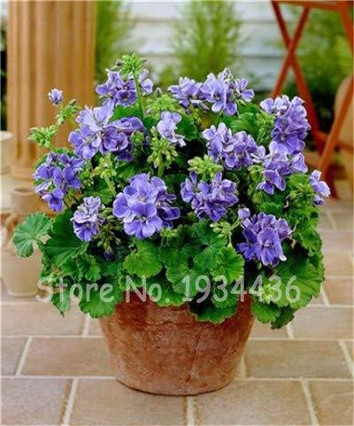 Plentree Samen Paket: 5 Beutel 10 Stück Pelargonium Peltatum Bonsai DIY Hausgarten s Indoor Hübsche Blume Topf Weihnachtsgeschenk: Y (Blumen-topf Hübsche)