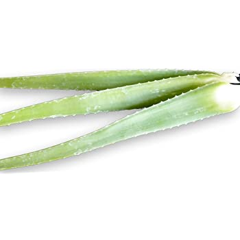 ALOE VERA 3 FRESH LEAVES - From Mature Plant - Barbadensis Miller MEDICINAL ALOE