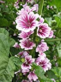 Pinkdose® French Hollyhock -