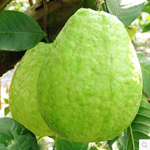 grande-vendita-10-seed-bag-semi-balcone-patio-in-vaso-alberi-da-frutto-piantati-semi-psidium-semilla