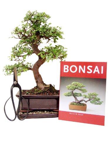Bonsai Geschenkset Anfänger Sparset chinesische Ulme, ca. 9 Jahre, ca. 30-35 cm hoch