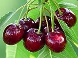 Herz-Kirsche 5 Samen (prunus avium) Cherry Sweet