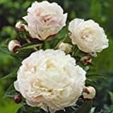Pfingstrose Shirley Temple -Paeonia lactiflora- Außergewöhnlich, stark duftend und winterhart – Blüten der Rose erst zart-rosa später perl-weiß – Pflanze von Garten Schlüter