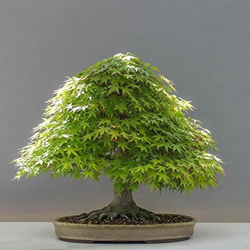 Doubleer Semi di Acero Bonsai Giapponese Balcone Sementi Piante per Giardino di Casa 20 pz/pacco